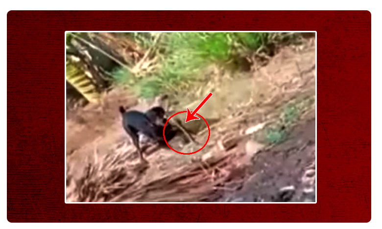 Dog Fight, యజమాని కోసం పాముతో కుక్క ఫైటింగ్..