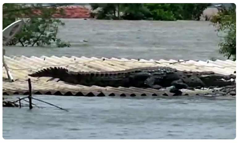 Crocodile lands on rooftop of house in Karnataka's flood-affected Belgaum