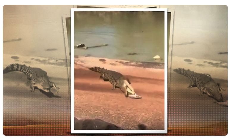crocodile snatches fish from anglers line, లగెత్తుకొచ్చి .. పుటుక్కున తినేసింది.. బాప్ రే !