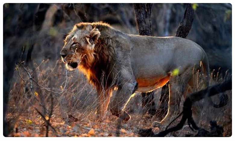 2 journalists, 4 other held for tracking lions in Gir forest