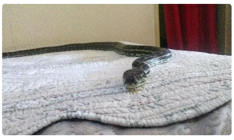 Python was seen relaxing on a bed in the home house owner get shocked