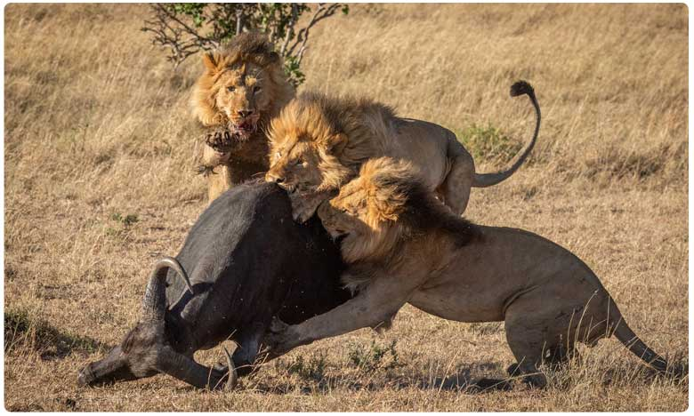 """Lions break out in fight after dragging buffalo to eat. Viral video of what happens next is a lesson for all, సింహాలకు గేదె """"గుణపాఠం"""".. లగెత్తుకుపోయింది """"ఆహారం""""..!"""