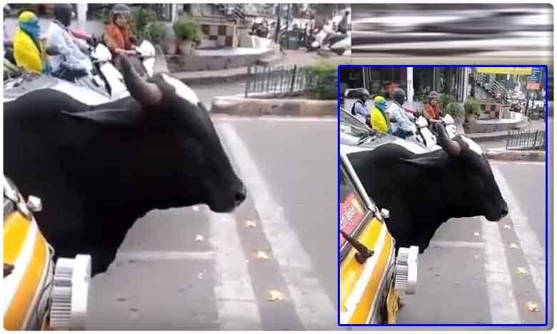 This cow amazes everyone by following traffic rules, ట్రాఫిక్ రూల్స్ పాటిస్తున్న గోమాత..!