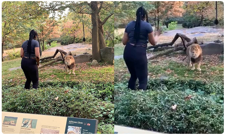 heart stopping moment woman climbs over a safety barrier at bronx zoo to taunt lion, సింహమా ? నాకేం భయం ? ' ఆమె ' కు ఇదేం ' రోగం ' ?