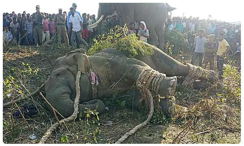 Rogue 'Bin Laden' elephant caught in India after killing 5 people, ఎట్టకేలకు ఐదుగురిని చంపిన  'బిన్ లాడెన్' ఏనుగు పట్టివేత!