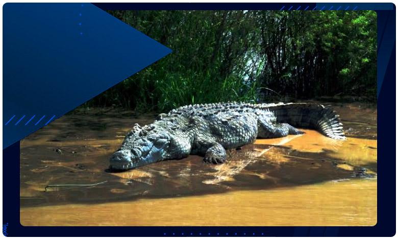 twelve Foot Crocodile Rescued In Vadodara. Watch Terrifying Video, పొలంలో 12 అడుగుల భారీ మొసలి..తర్వాత ఏం జరిగిందంటే..