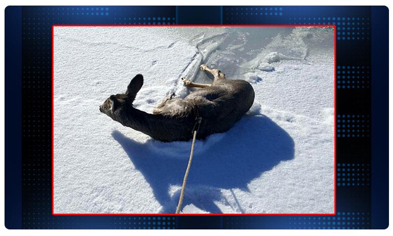 Two Wyoming sheriff's deputies, మంచు కొలనులో ఇరుక్కుపోయిన జింక..బయటకు రాలేక విలవిల