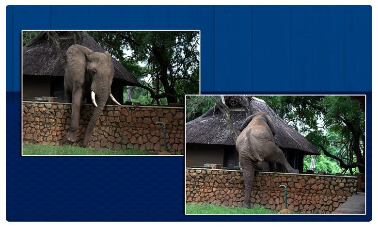 A particularly agile elephant clambered over a five-foot wall in Zambia park, వామ్మో ! మనిషి ఎక్కినట్టే గోడను ఎక్కి …