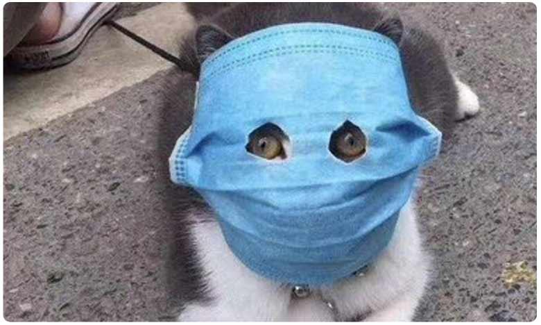 Worried cat owners are making felines wear masks for coronavirus protection, అక్కడ మనుషులే కాదు.. పిల్లులు, కుక్కలుకు కూడా మాస్క్లు.. ఎందుకంటే..?
