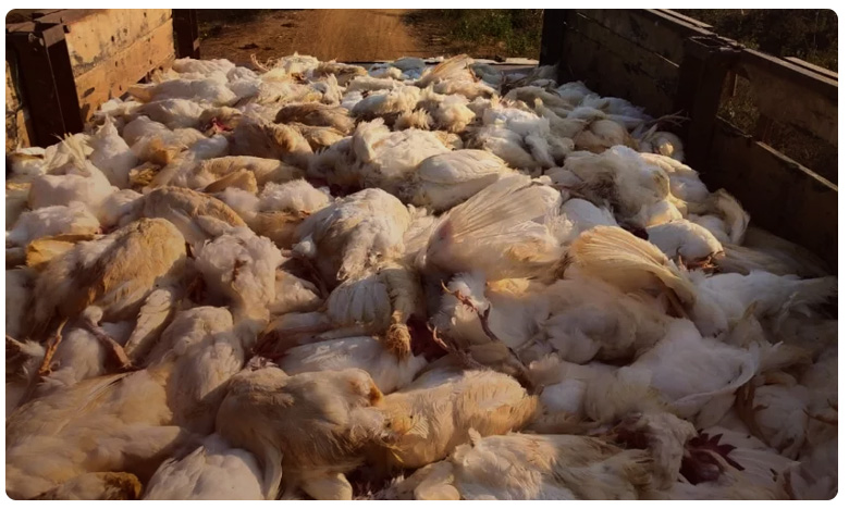 Nearly 30 thousands of hens died in khammam District poultry farm, వింత వైరస్‌తో 30 వేల కోళ్లు మృతి.. డేంజరే!