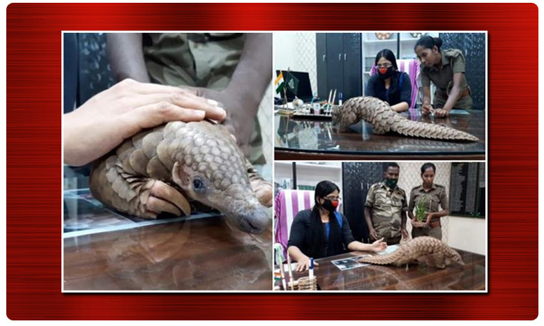 Odisha pangolin rescued quarantine center athagarh Coronavirus tests, క్వారంటైన్ లో అలుగు.. కరోనా పరీక్షలు చేయనున్న వైద్యులు !