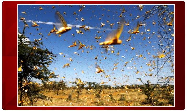 Massive locust invasion threatens Telangana farmers, తెలంగాణకు మరో ఆపద..గంటకు 15కి. మీ వేగంతో దూసుకొస్తున్న..