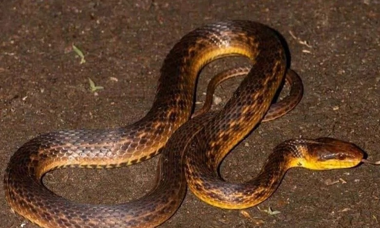 Assam Keelback snake rediscovered after 129 years, అంతరించిపోయిందనుకున్న పాము.. 129 ఏళ్ల తర్వాత కనిపించింది