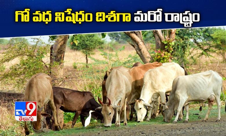 Karnataka mulls ban on cow slaughter.. beef consumption, గో వధ నిషేధం దిశగా అడుగులు వేస్తున్న కన్నడ ప్రభుత్వం