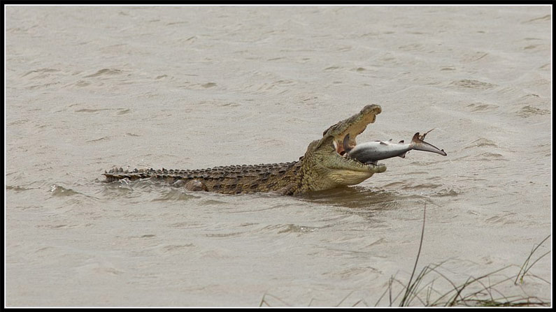 Gigantic Crocodile Swallows A Shark In Australia 2